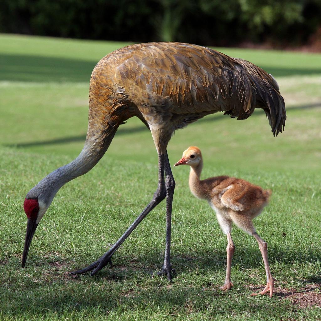 baby sandhill crane with parent by Dawn Huczek, on Flickr