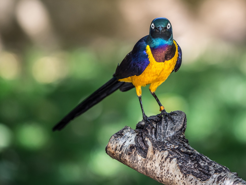 Golden-breasted Starling by wwarby, on Flickr