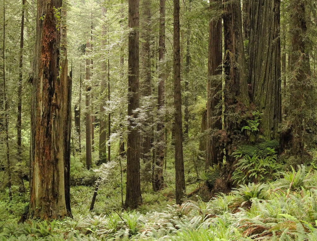 Redwood forest on Prairie Creek Redwoods by MiguelVieira, on Flickr