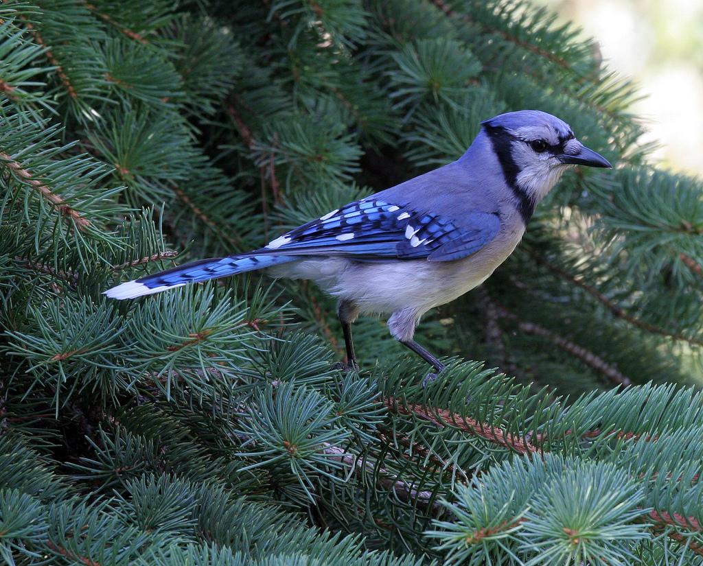 A Proud Blue Jay by Dawn Huczek, on Flickr