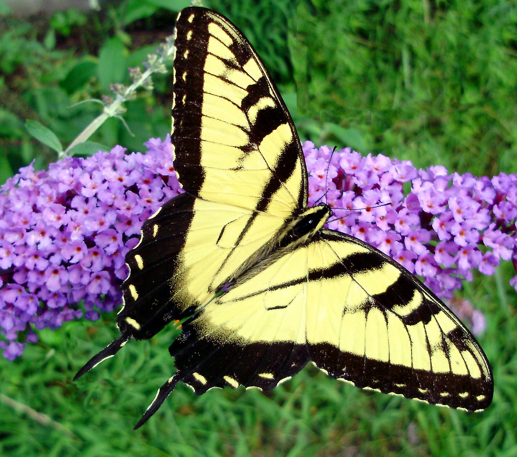 Male Eastern Tiger Swallowtail Butterfly by Mullica, on Flickr