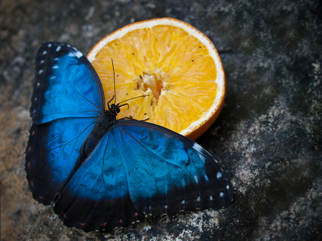 Blue Morpho Butterfly by wwarby, on Flickr