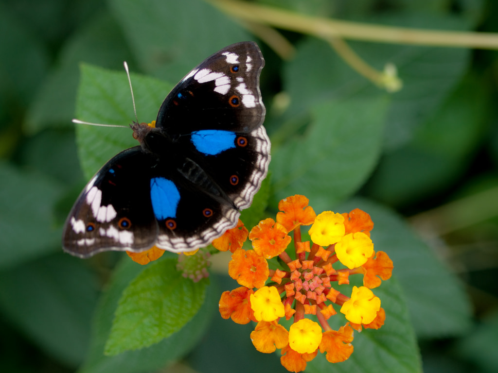 Blue Pansy Butterfly by wwarby, on Flickr