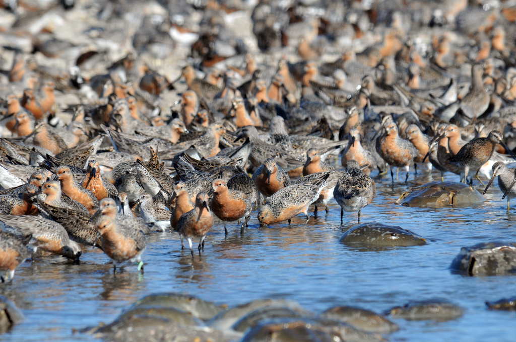 Red Knot by U. S. Fish and Wildlife Service - Northeast Region, on Flickr