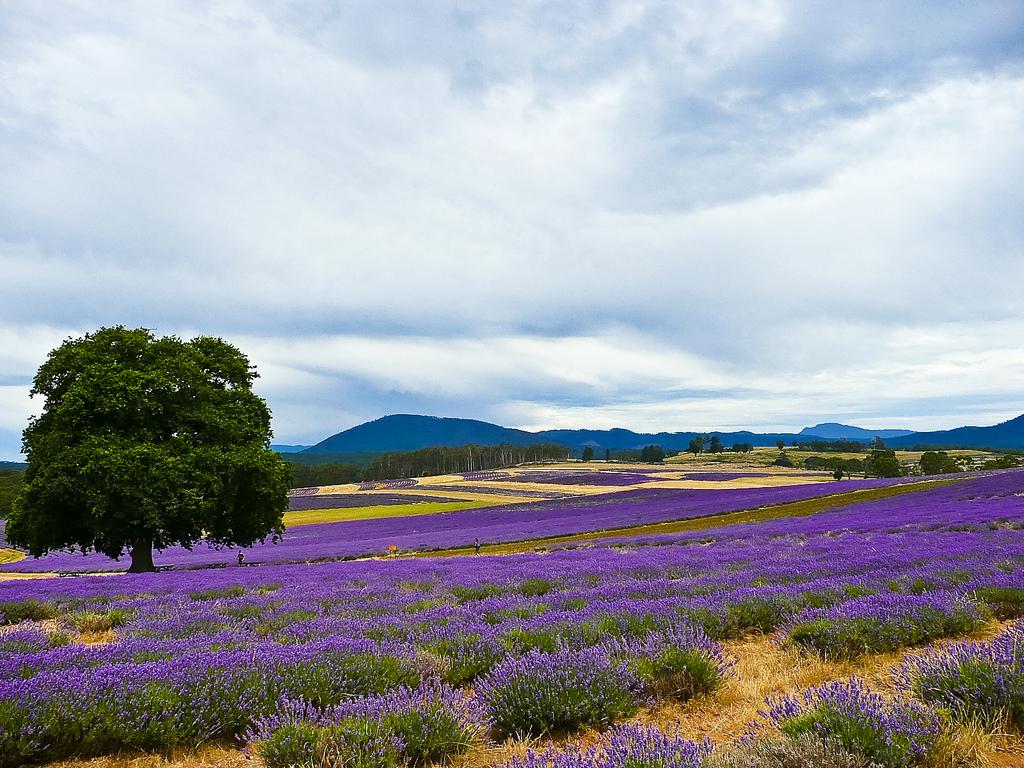 The Bridestowe Estate Lavender Farm by >littleyiye<, on Flickr