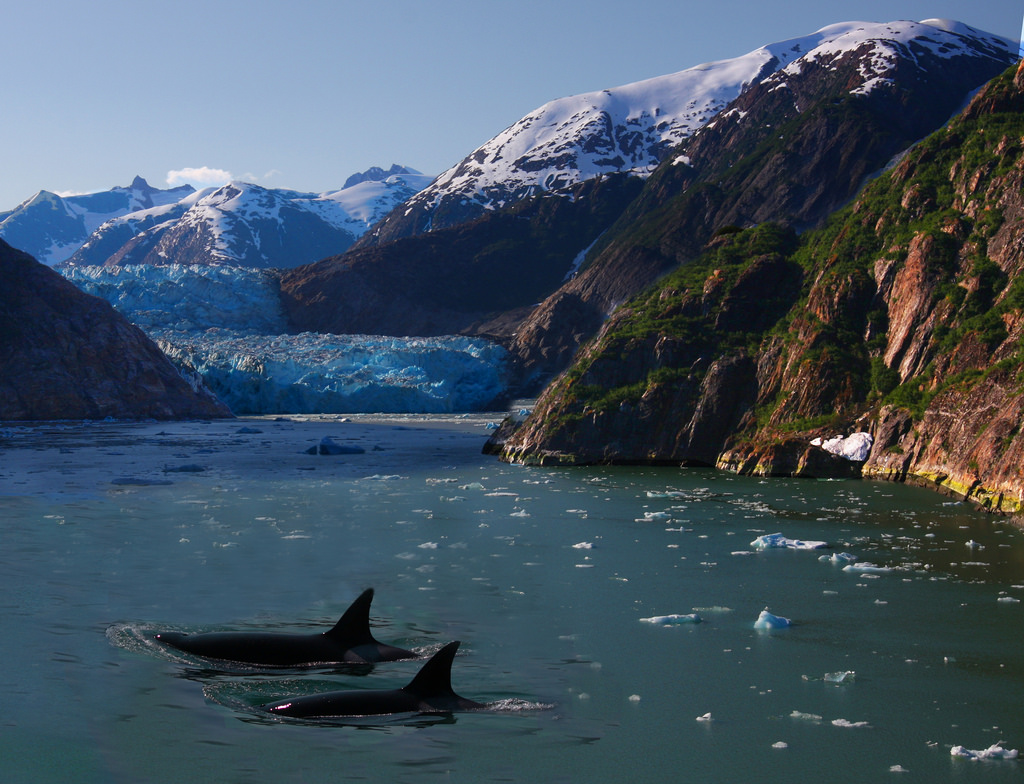 Killer Whales and a Glacier by Rennett Stowe, on Flickr