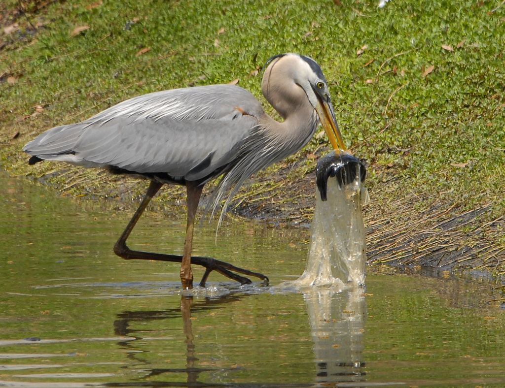 Great Blue Heron Swallows Fish in Plasti by Andrea Westmoreland, on Flickr