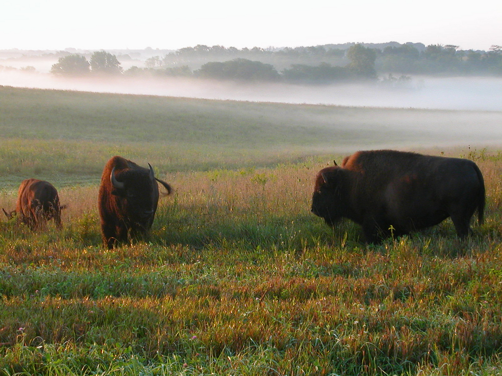 Bison roam the fields at Neal Smith Nati by U.S. Fish and Wildlife Service - Midwest Region, on Flickr