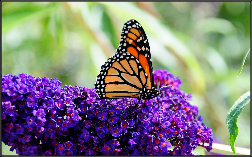 First Butterfly In May by tdlucas5000, on Flickr
