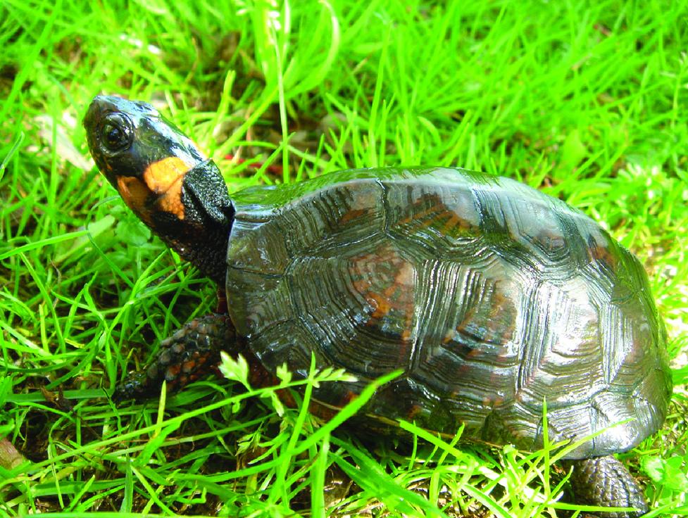 Bog Turtle by U. S. Fish and Wildlife Service - Northeast Region, on Flickr