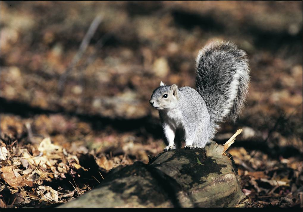 Delmarva Fox Squirrel by U. S. Fish and Wildlife Service - Northeast Region, on Flickr