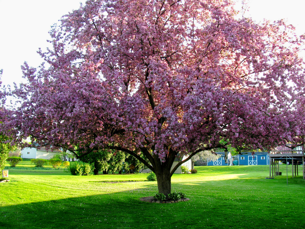 Cherry Blossom Tree in Geneva by news10nbc, on Flickr