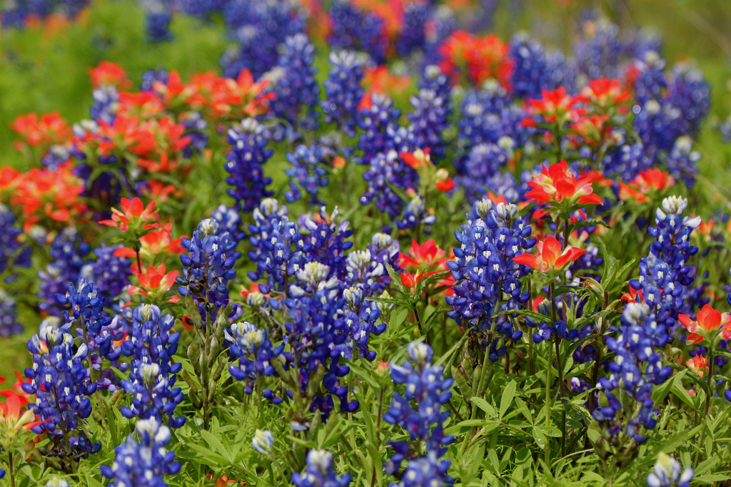 Indian paintbrush and lupine by roy.luck, on Flickr