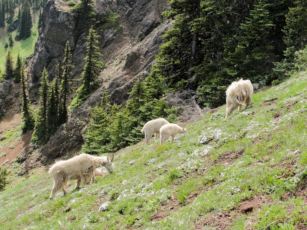 Mountain goats (Oreamnos americanus) on by MiguelVieira, on Flickr