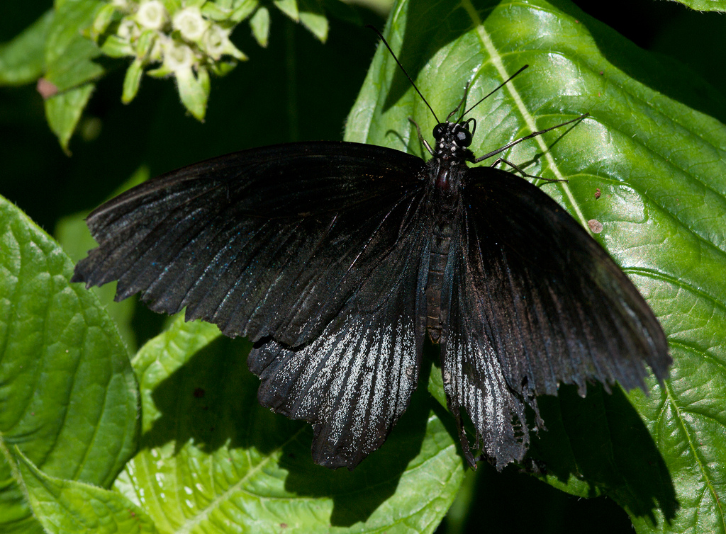 All-Black Butterfly by Kurayba, on Flickr