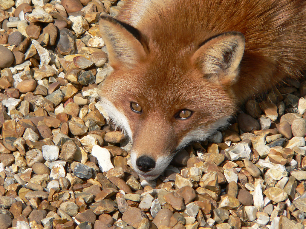 Bored fox by Harlequeen, on Flickr
