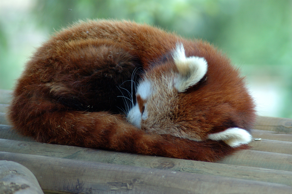 Sleeping firefox by Raphael Quinet, on Flickr