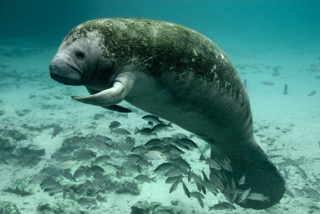 Endangered Florida manatee (Trichechus m by USFWS Endangered Species, on Flickr