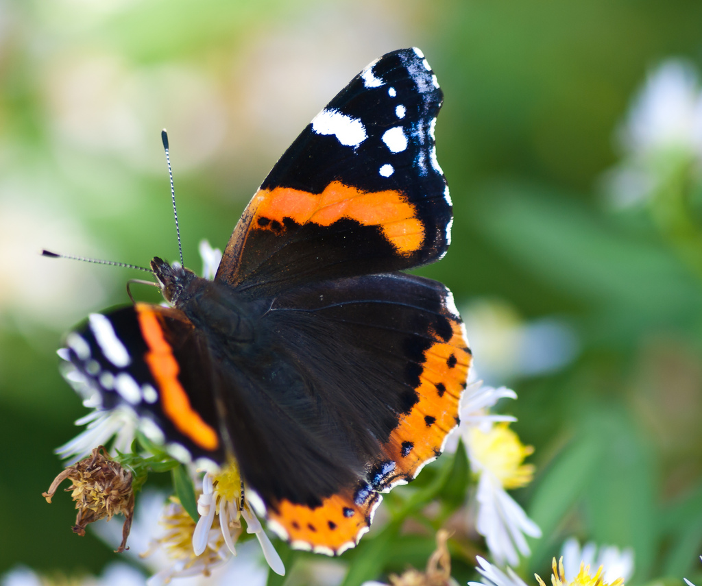 Red Admiral Butterfly by wwarby, on Flickr