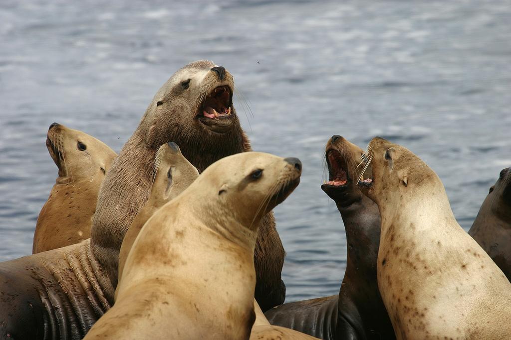 Steller sea lions, Oregon Islands NWR by USFWS Headquarters, on Flickr