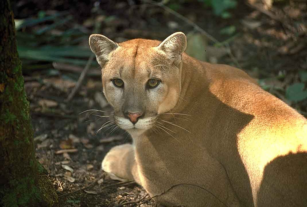 Florida panther by USFWS/Southeast, on Flickr