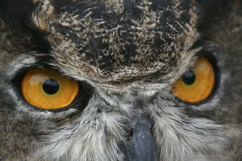 Photo of the Week - Great Horned Owl at by U. S. Fish and Wildlife Service - Northeast Region, on Flickr