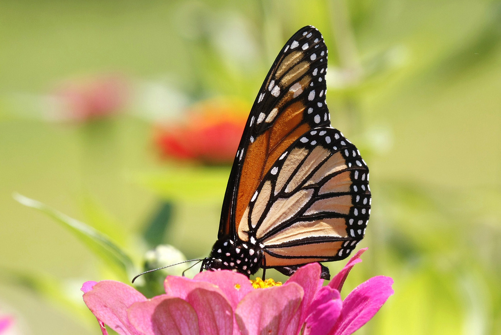 Monarch Butterfly by U. S. Fish and Wildlife Service - Northeast Region, on Flickr