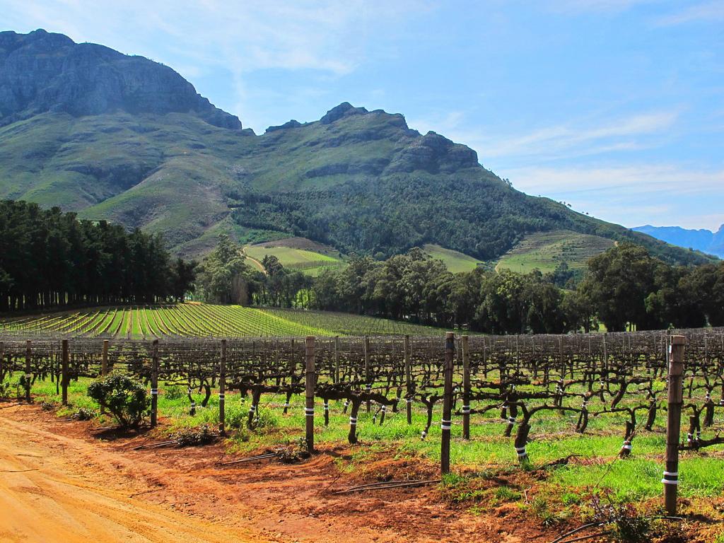 Stellenbosch vinyard by Dave Bezaire, on Flickr