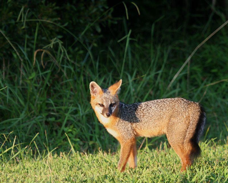 Gray Fox by U. S. Fish and Wildlife Service - Northeast Region, on Flickr