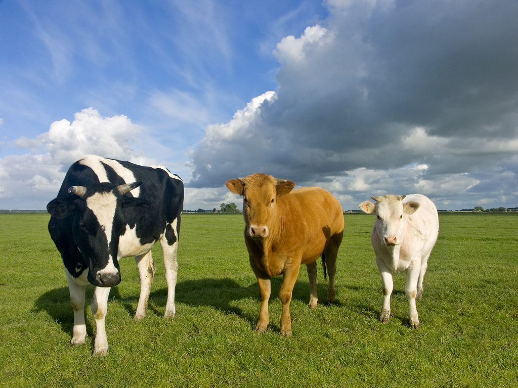 Farm and General Services - Cows by Terinea IT Support, on Flickr