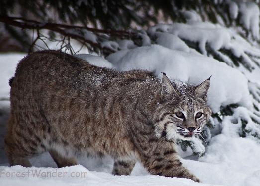 Bobcat snow by ForestWander.com, on Flickr