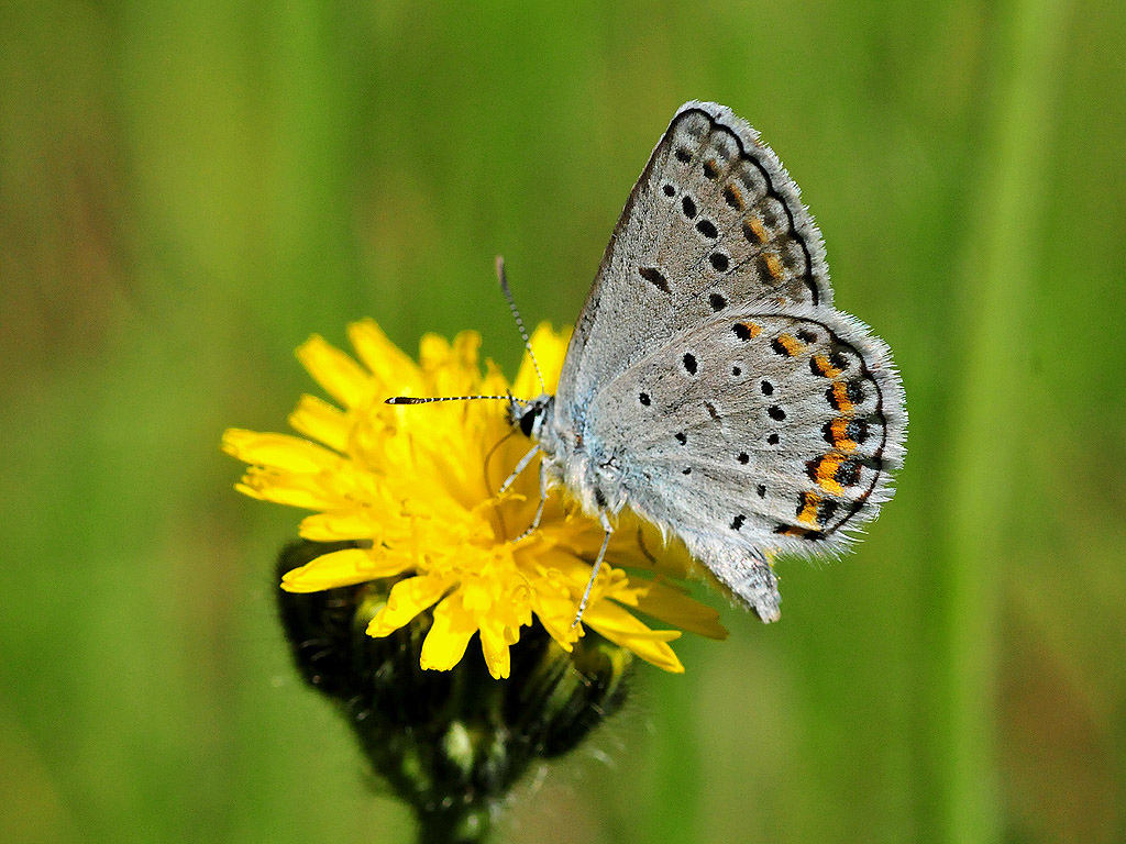 Karner blue butterfly (Lycaeides melissa by U.S. Fish and Wildlife Service - Midwest Region, on Flickr