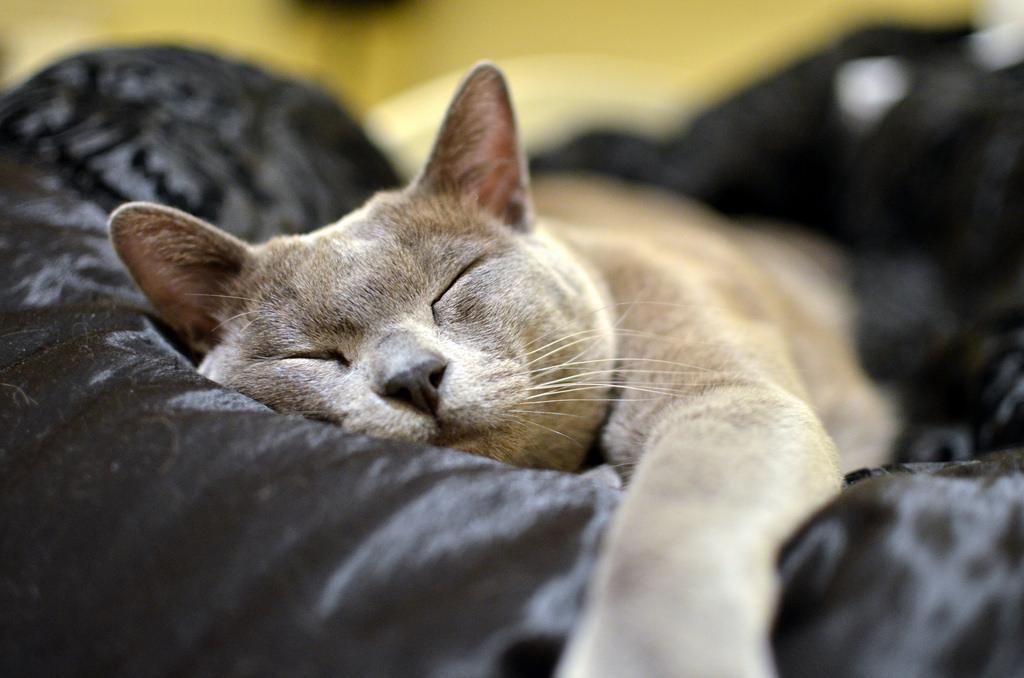 Panthro the Blue Burmese Cat by olliethebastard, on Flickr