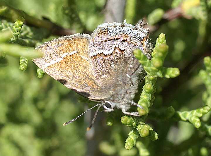 Thorne's hairstreak butterfly on Tecate by USFWS Pacific Southwest Region, on Flickr