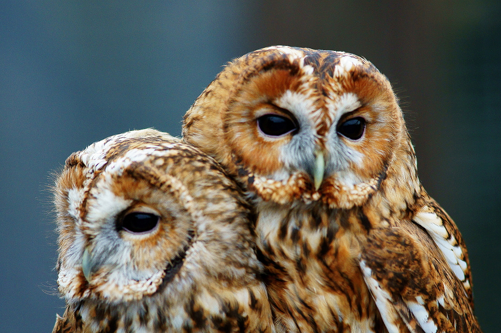 Tawny Owls by Peter G Trimming, on Flickr