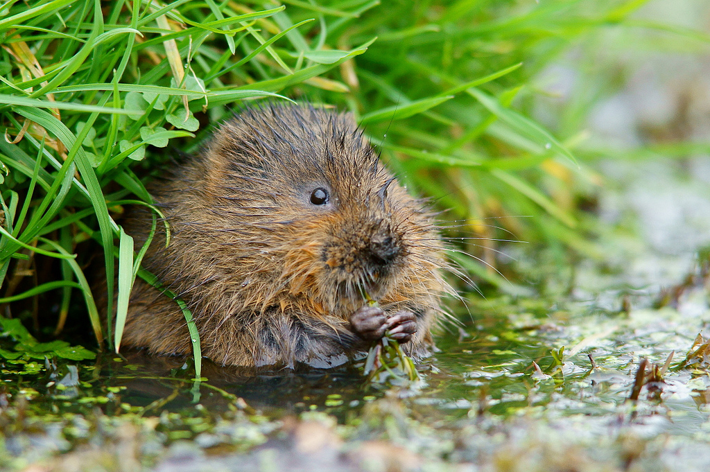 Water Vole by Peter G Trimming, on Flickr