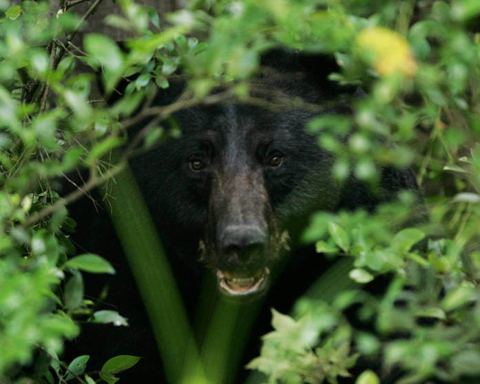 black bear, Alligator River National Wil by USFWS Headquarters, on Flickr