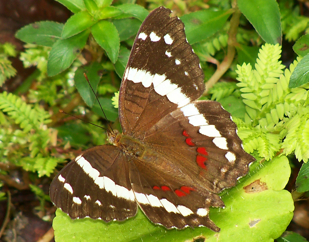 rainforest butterfly brown by REDFISH1223, on Flickr