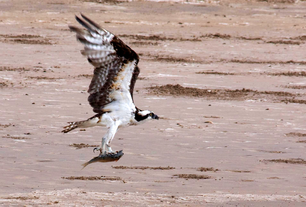 Osprey, Lower Rio Grande Valley National by USFWS Headquarters, on Flickr