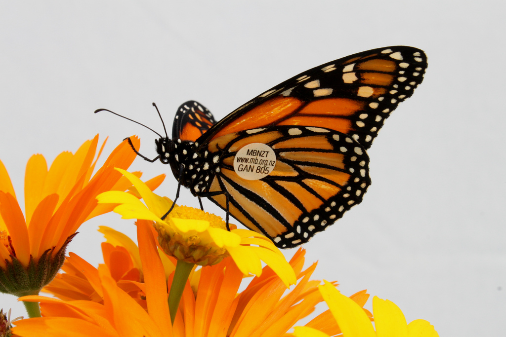 A tagged Monarch Butterfly by Anna Barnett, on Flickr