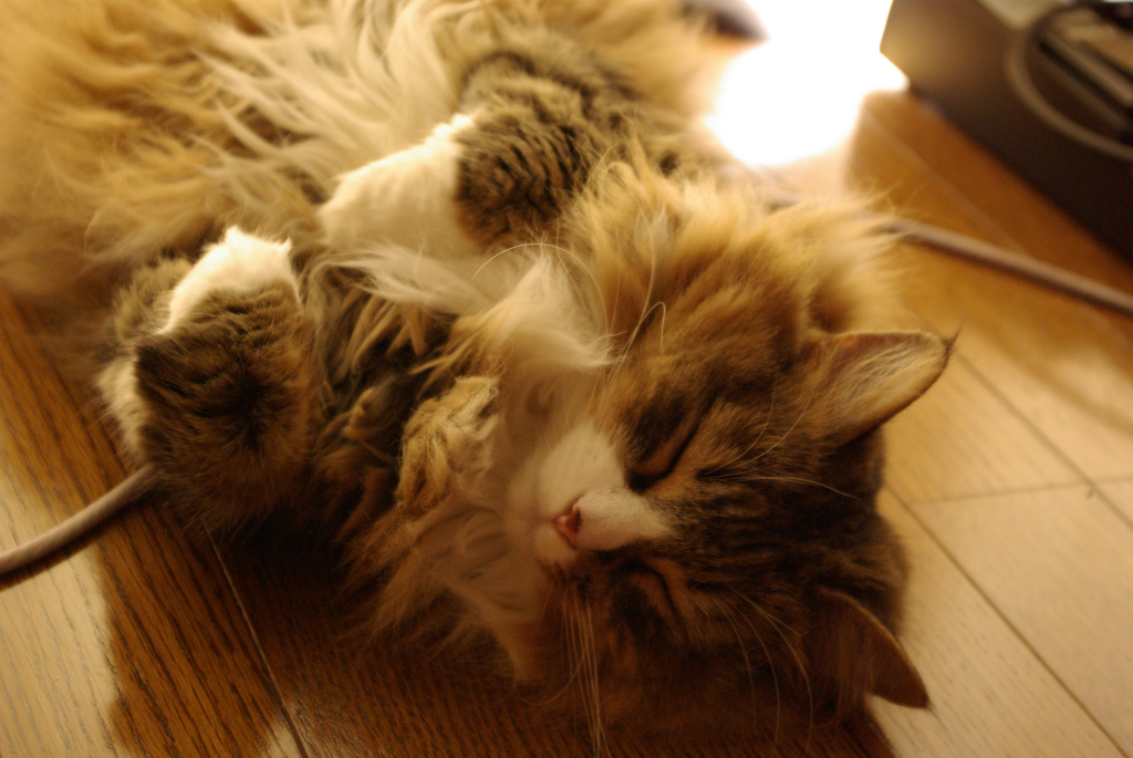sleeping norwegian forest cat in my room by mitsukuni, on Flickr