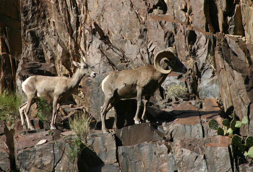 Desert Bighorn Sheep in Grand Canyon Nat by Grand Canyon NPS, on Flickr