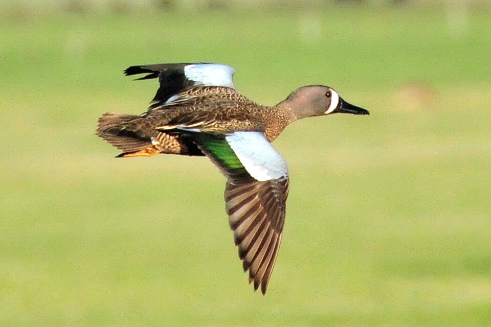 Blue-winged teal in flight Sand Lake Nat by USFWS Headquarters, on Flickr