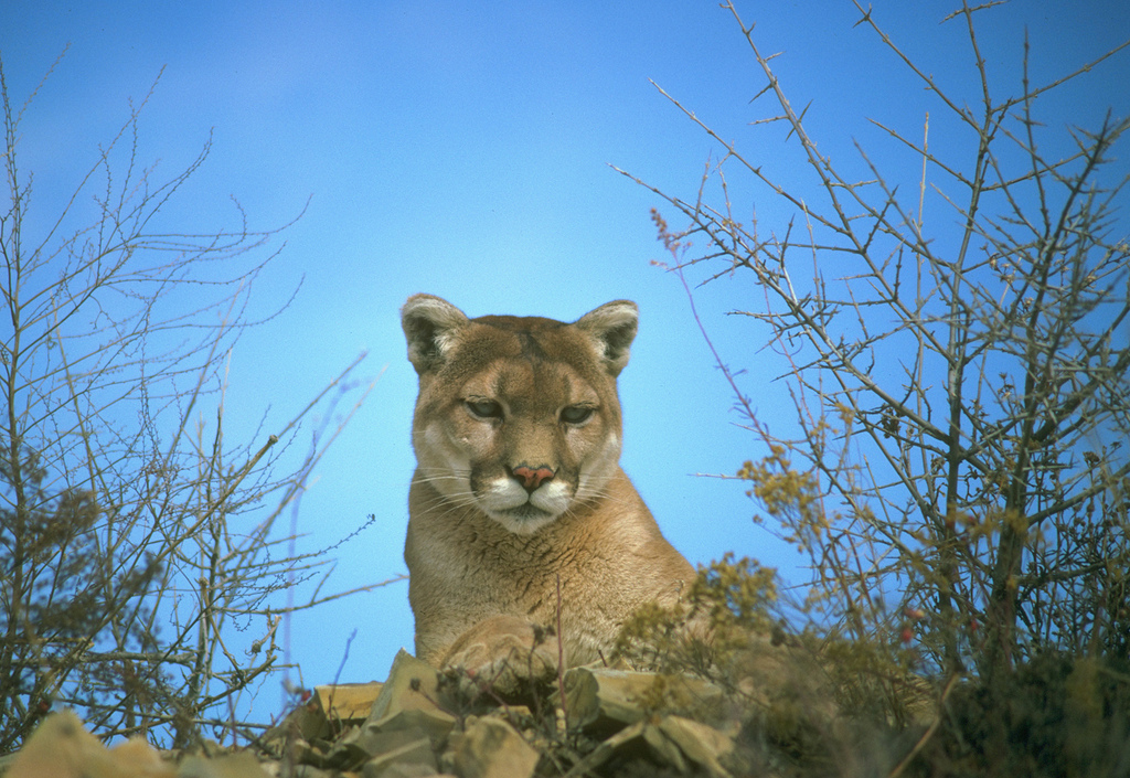 Mountain Lion by CaliforniaDFW, on Flickr