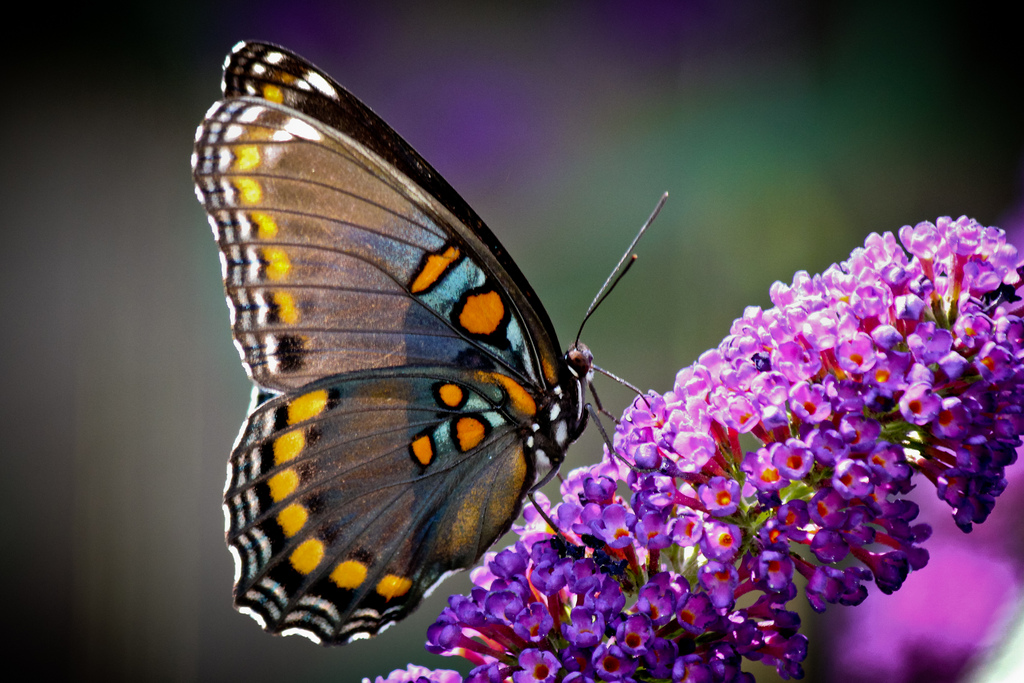 Butterfly Sides by Chris Potako, on Flickr