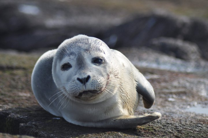 Photo of the Week - Harbor seal at Nantu by U. S. Fish and Wildlife Service - Northeast Region, on Flickr