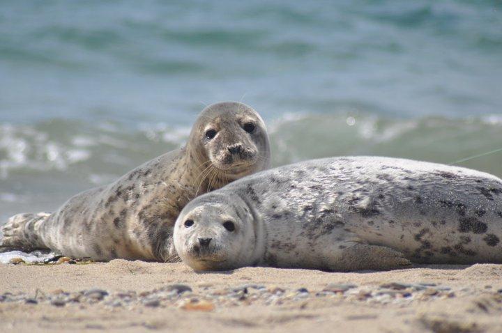 Seals at Nantucket National Wildlife Ref by U. S. Fish and Wildlife Service - Northeast Region, on Flickr
