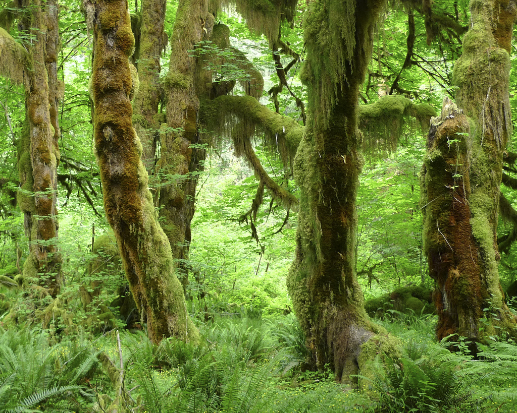 Hall of Mosses - Olympic National park by j.o.h.n. walker, on Flickr