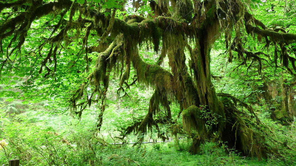 Olympic National Park - Hall of Mosses by j.o.h.n. walker, on Flickr