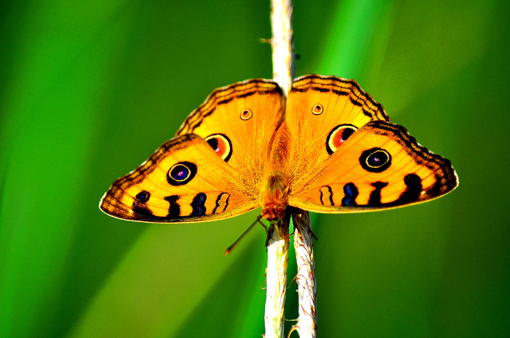 BUTTERFLY by whologwhy, on Flickr